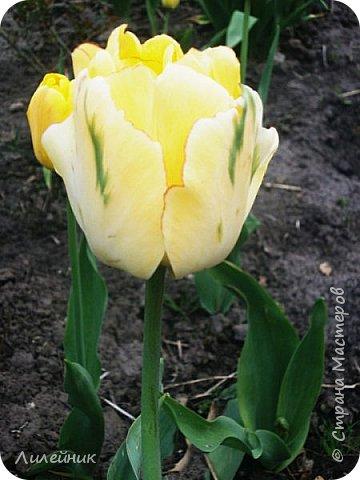 За окном весна.Что может быть прекрасней цветения тюльпанов. фото 20