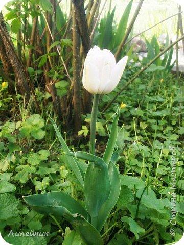 За окном весна.Что может быть прекрасней цветения тюльпанов. фото 24
