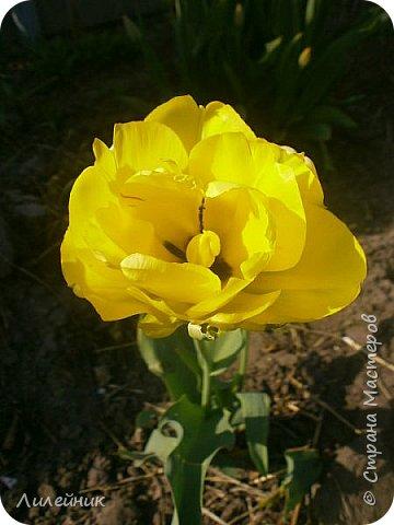 За окном весна.Что может быть прекрасней цветения тюльпанов. фото 38