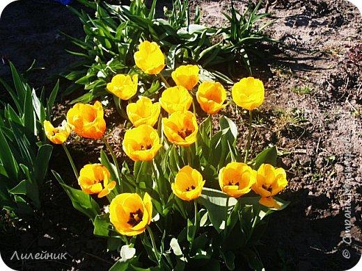 За окном весна.Что может быть прекрасней цветения тюльпанов. фото 4