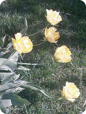 За окном весна.Что может быть прекрасней цветения тюльпанов. фото 21