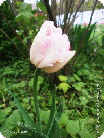 За окном весна.Что может быть прекрасней цветения тюльпанов. фото 23