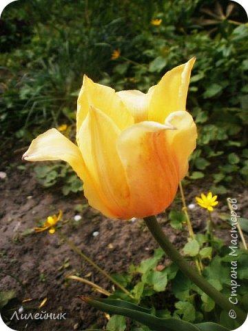 За окном весна.Что может быть прекрасней цветения тюльпанов. фото 37