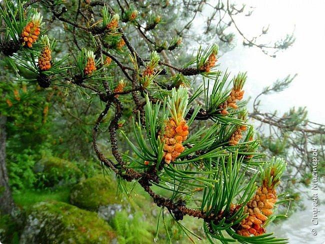 Это Иоанн Кронштадтский, святой праведник, сказал, что цветы – остатки рая на земле. И разве нельзя назвать райским местом этот родник в Бешпельтирском логу? У нас, в Горном Алтае, такая красота повсюду. И я приглашаю вас на неспешную прогулку по цветущему Алтаю. фото 86