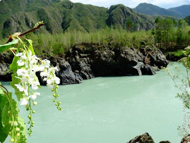 Это Иоанн Кронштадтский, святой праведник, сказал, что цветы – остатки рая на земле. И разве нельзя назвать райским местом этот родник в Бешпельтирском логу? У нас, в Горном Алтае, такая красота повсюду. И я приглашаю вас на неспешную прогулку по цветущему Алтаю. фото 87