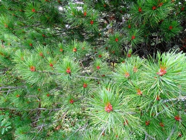 Это Иоанн Кронштадтский, святой праведник, сказал, что цветы – остатки рая на земле. И разве нельзя назвать райским местом этот родник в Бешпельтирском логу? У нас, в Горном Алтае, такая красота повсюду. И я приглашаю вас на неспешную прогулку по цветущему Алтаю. фото 85