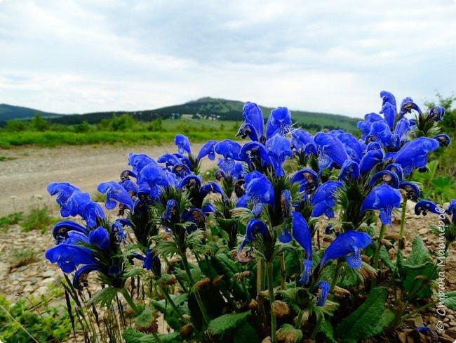 Это Иоанн Кронштадтский, святой праведник, сказал, что цветы – остатки рая на земле. И разве нельзя назвать райским местом этот родник в Бешпельтирском логу? У нас, в Горном Алтае, такая красота повсюду. И я приглашаю вас на неспешную прогулку по цветущему Алтаю. фото 63