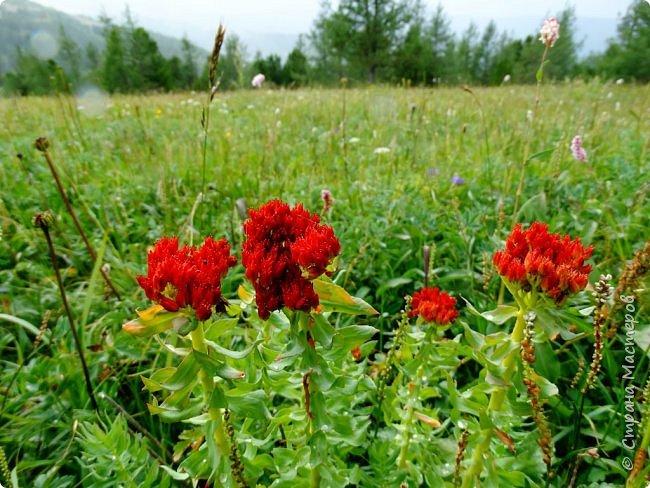 Это Иоанн Кронштадтский, святой праведник, сказал, что цветы – остатки рая на земле. И разве нельзя назвать райским местом этот родник в Бешпельтирском логу? У нас, в Горном Алтае, такая красота повсюду. И я приглашаю вас на неспешную прогулку по цветущему Алтаю. фото 89