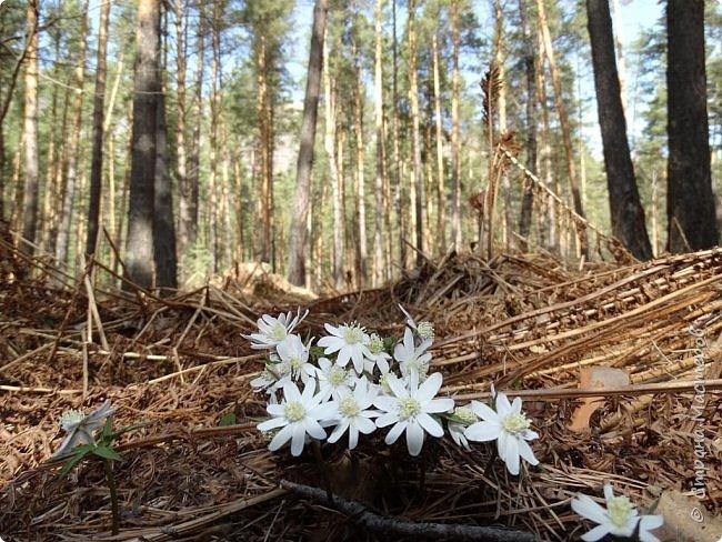 Это Иоанн Кронштадтский, святой праведник, сказал, что цветы – остатки рая на земле. И разве нельзя назвать райским местом этот родник в Бешпельтирском логу? У нас, в Горном Алтае, такая красота повсюду. И я приглашаю вас на неспешную прогулку по цветущему Алтаю. фото 27