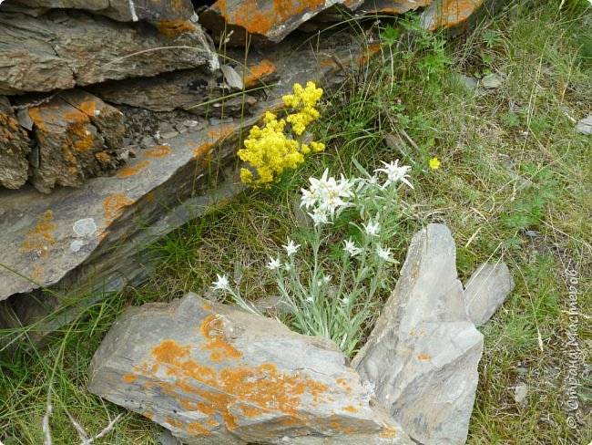 Это Иоанн Кронштадтский, святой праведник, сказал, что цветы – остатки рая на земле. И разве нельзя назвать райским местом этот родник в Бешпельтирском логу? У нас, в Горном Алтае, такая красота повсюду. И я приглашаю вас на неспешную прогулку по цветущему Алтаю. фото 80