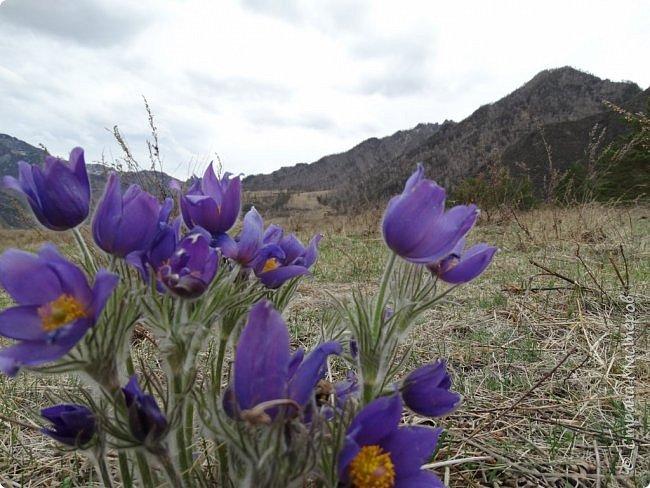 Это Иоанн Кронштадтский, святой праведник, сказал, что цветы – остатки рая на земле. И разве нельзя назвать райским местом этот родник в Бешпельтирском логу? У нас, в Горном Алтае, такая красота повсюду. И я приглашаю вас на неспешную прогулку по цветущему Алтаю. фото 23