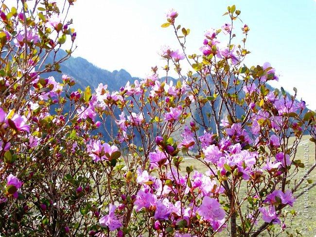 Это Иоанн Кронштадтский, святой праведник, сказал, что цветы – остатки рая на земле. И разве нельзя назвать райским местом этот родник в Бешпельтирском логу? У нас, в Горном Алтае, такая красота повсюду. И я приглашаю вас на неспешную прогулку по цветущему Алтаю. фото 33
