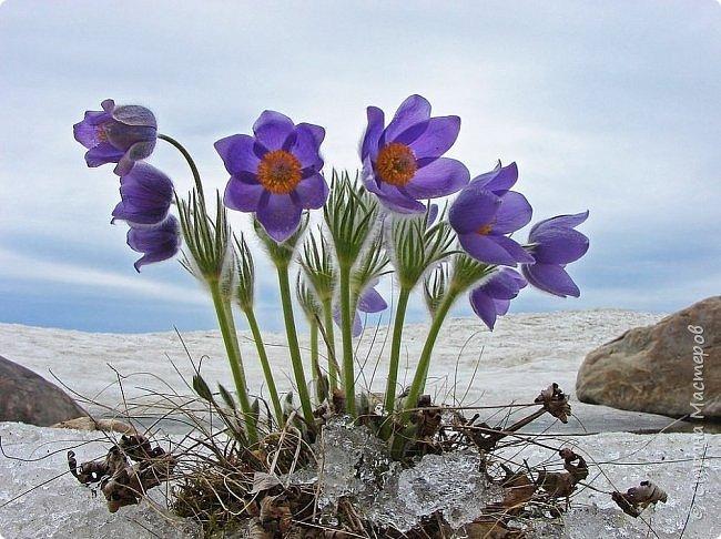 Это Иоанн Кронштадтский, святой праведник, сказал, что цветы – остатки рая на земле. И разве нельзя назвать райским местом этот родник в Бешпельтирском логу? У нас, в Горном Алтае, такая красота повсюду. И я приглашаю вас на неспешную прогулку по цветущему Алтаю. фото 19