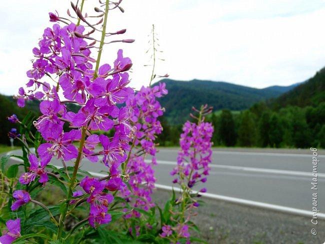 Это Иоанн Кронштадтский, святой праведник, сказал, что цветы – остатки рая на земле. И разве нельзя назвать райским местом этот родник в Бешпельтирском логу? У нас, в Горном Алтае, такая красота повсюду. И я приглашаю вас на неспешную прогулку по цветущему Алтаю. фото 65