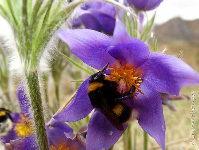 Это Иоанн Кронштадтский, святой праведник, сказал, что цветы – остатки рая на земле. И разве нельзя назвать райским местом этот родник в Бешпельтирском логу? У нас, в Горном Алтае, такая красота повсюду. И я приглашаю вас на неспешную прогулку по цветущему Алтаю. фото 25