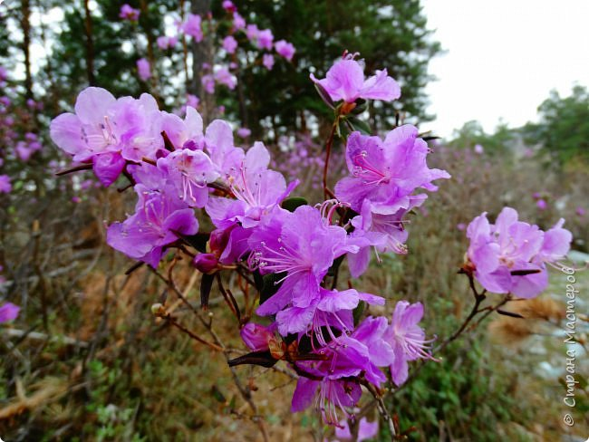 Это Иоанн Кронштадтский, святой праведник, сказал, что цветы – остатки рая на земле. И разве нельзя назвать райским местом этот родник в Бешпельтирском логу? У нас, в Горном Алтае, такая красота повсюду. И я приглашаю вас на неспешную прогулку по цветущему Алтаю. фото 35