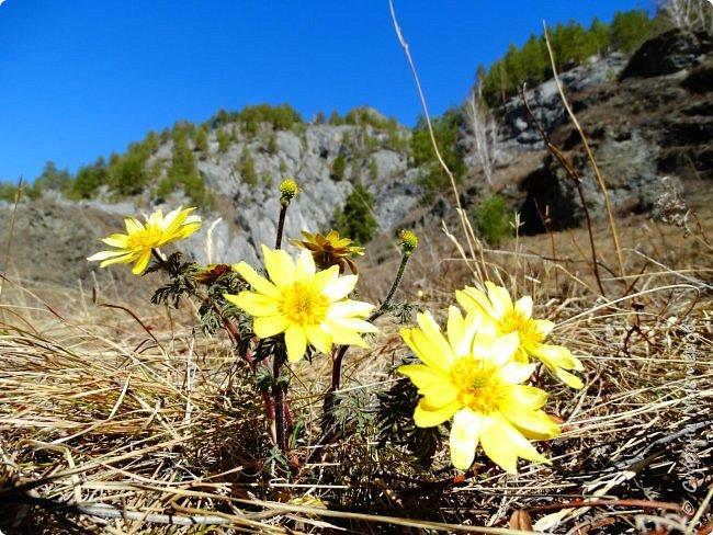 Это Иоанн Кронштадтский, святой праведник, сказал, что цветы – остатки рая на земле. И разве нельзя назвать райским местом этот родник в Бешпельтирском логу? У нас, в Горном Алтае, такая красота повсюду. И я приглашаю вас на неспешную прогулку по цветущему Алтаю. фото 42