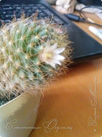Привет, сограждане! Очередной прямой фоторепортаж о моих кактусятах (любимых кактусятах -:)). Отчёт за 27 апреля и 2 мая. Здесь же небольшой репортаж о весне в Гродно и в качестве бонуса небольшой прикол-ляп. Это цветок кактуса Mammillaria wildii. Съёмка 27 апреля. Применял и макро-объектив, и зум на камере сотового. На следующих пяти снимках этот же кактус. фото 2