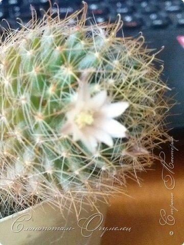 Привет, сограждане! Очередной прямой фоторепортаж о моих кактусятах (любимых кактусятах -:)). Отчёт за 27 апреля и 2 мая. Здесь же небольшой репортаж о весне в Гродно и в качестве бонуса небольшой прикол-ляп. Это цветок кактуса Mammillaria wildii. Съёмка 27 апреля. Применял и макро-объектив, и зум на камере сотового. На следующих пяти снимках этот же кактус. фото 3