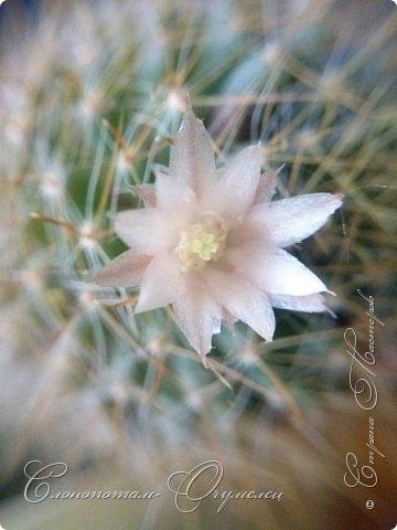 Привет, сограждане! Очередной прямой фоторепортаж о моих кактусятах (любимых кактусятах -:)). Отчёт за 27 апреля и 2 мая. Здесь же небольшой репортаж о весне в Гродно и в качестве бонуса небольшой прикол-ляп. Это цветок кактуса Mammillaria wildii. Съёмка 27 апреля. Применял и макро-объектив, и зум на камере сотового. На следующих пяти снимках этот же кактус. фото 4