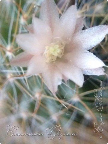 Привет, сограждане! Очередной прямой фоторепортаж о моих кактусятах (любимых кактусятах -:)). Отчёт за 27 апреля и 2 мая. Здесь же небольшой репортаж о весне в Гродно и в качестве бонуса небольшой прикол-ляп. Это цветок кактуса Mammillaria wildii. Съёмка 27 апреля. Применял и макро-объектив, и зум на камере сотового. На следующих пяти снимках этот же кактус. фото 1