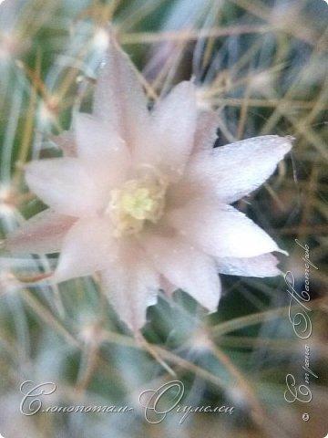 Привет, сограждане! Очередной прямой фоторепортаж о моих кактусятах (любимых кактусятах -:)). Отчёт за 27 апреля и 2 мая. Здесь же небольшой репортаж о весне в Гродно и в качестве бонуса небольшой прикол-ляп. Это цветок кактуса Mammillaria wildii. Съёмка 27 апреля. Применял и макро-объектив, и зум на камере сотового. На следующих пяти снимках этот же кактус. фото 5
