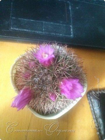 Привет, сограждане! Очередной прямой фоторепортаж о моих кактусятах (любимых кактусятах -:)). Отчёт за 27 апреля и 2 мая. Здесь же небольшой репортаж о весне в Гродно и в качестве бонуса небольшой прикол-ляп. Это цветок кактуса Mammillaria wildii. Съёмка 27 апреля. Применял и макро-объектив, и зум на камере сотового. На следующих пяти снимках этот же кактус. фото 7
