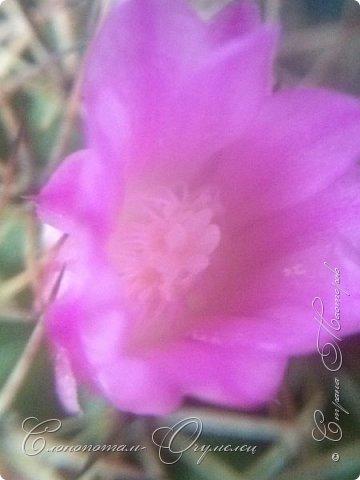 Привет, сограждане! Очередной прямой фоторепортаж о моих кактусятах (любимых кактусятах -:)). Отчёт за 27 апреля и 2 мая. Здесь же небольшой репортаж о весне в Гродно и в качестве бонуса небольшой прикол-ляп. Это цветок кактуса Mammillaria wildii. Съёмка 27 апреля. Применял и макро-объектив, и зум на камере сотового. На следующих пяти снимках этот же кактус. фото 8