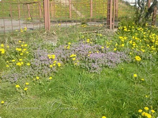 Привет, сограждане! Очередной прямой фоторепортаж о моих кактусятах (любимых кактусятах -:)). Отчёт за 27 апреля и 2 мая. Здесь же небольшой репортаж о весне в Гродно и в качестве бонуса небольшой прикол-ляп. Это цветок кактуса Mammillaria wildii. Съёмка 27 апреля. Применял и макро-объектив, и зум на камере сотового. На следующих пяти снимках этот же кактус. фото 13