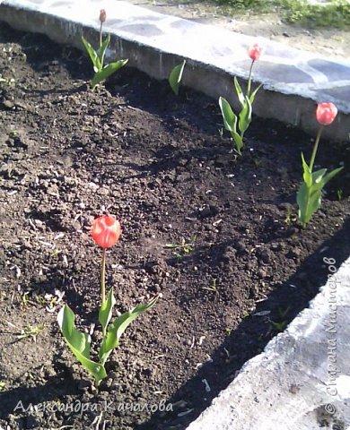 Тюльпаны на клумбе детского сада. Не смогла пройти мимо, да и дочки не дали. Фото сделаны на телефон, качество подводит.Простите. Фото сделаные вчера, 4 мая. фото 1