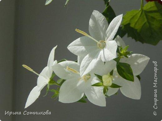 В перерывах между букетами я просматриваю цветы по инету, тут мой взгляд привлекло фото с этим красивым цветком. Очень захотелось его сделать. Сделала на одном дыхании… хотя сейчас я бы немного его переделала, изменила.  В народе кампанулу с белыми цветками ласково называют «невестой», а с голубыми — «женихом» или падающие звезды. Правильное название этого комнатного растения —кампанула равнолистная (Campanula isophylla).Она ассоциируется со свадьбой, весельем и радостью. Растение просто наполняет атмосферу дома легкой энергией. Что может быть очаровательнее комнатного цветка с красивым названием «жених и невеста»? Считается, что лучшим подарком для молодоженов, является цветок «жених и невеста», он способен помочь в создании крепкой семьи и наполнении совместной жизни безоблачным счастьем.Возможно, это всего лишь предрассудки, однако почему бы не поверить в уникальные возможности природного очарования, если оно способно приносить добро. фото 1