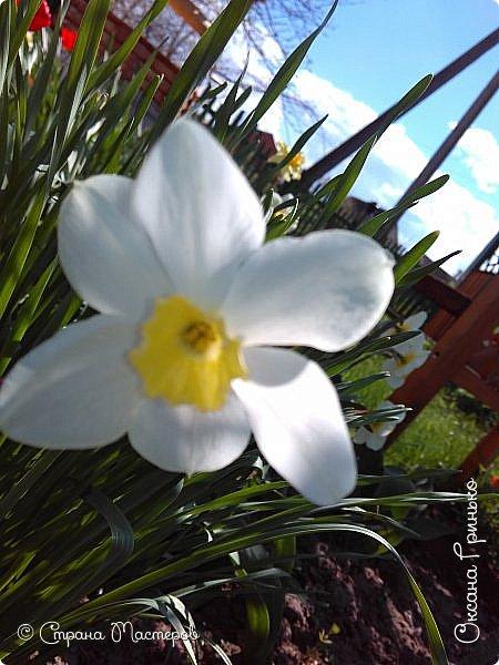 Добрый день Всем . Вот и пришла весна.  Такие разные нарциссы, но тем не менее такие красивые. С большой желтой серединкой. фото 6