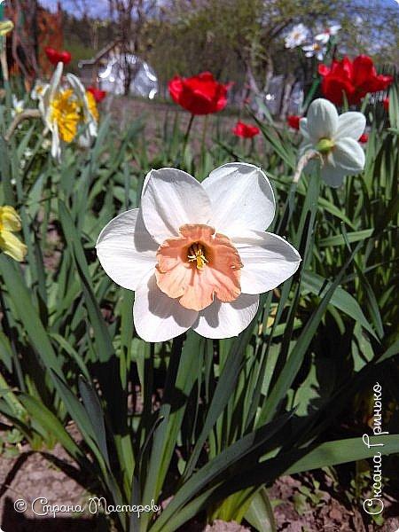 Добрый день Всем . Вот и пришла весна.  Такие разные нарциссы, но тем не менее такие красивые. С большой желтой серединкой. фото 2