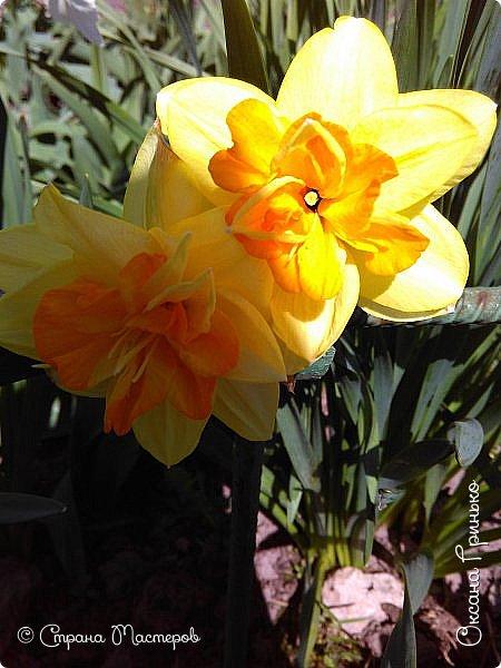 Добрый день Всем . Вот и пришла весна.  Такие разные нарциссы, но тем не менее такие красивые. С большой желтой серединкой. фото 3