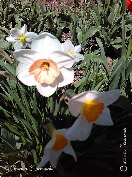Добрый день Всем . Вот и пришла весна.  Такие разные нарциссы, но тем не менее такие красивые. С большой желтой серединкой. фото 5