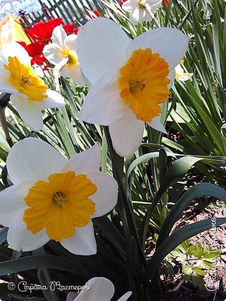 Добрый день Всем . Вот и пришла весна.  Такие разные нарциссы, но тем не менее такие красивые. С большой желтой серединкой. фото 1