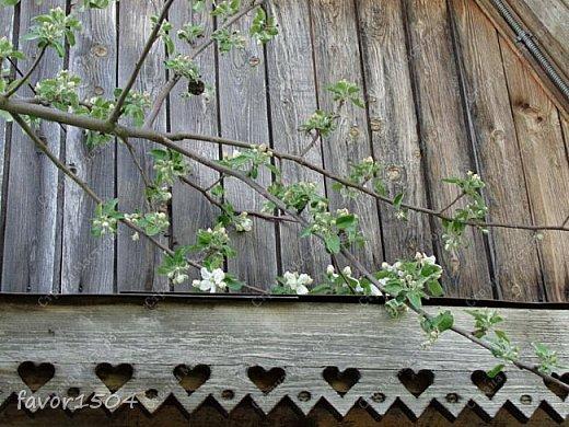 Решила пофотографировать как цветут деревья и кустарники... вот такие цветы на груше - обратите внимание - тычинки красно-розового цвета.... фото 11