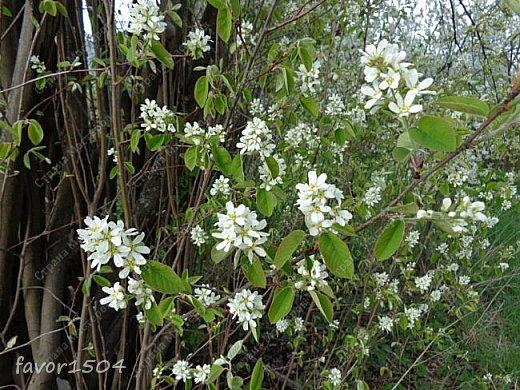 Решила пофотографировать как цветут деревья и кустарники... вот такие цветы на груше - обратите внимание - тычинки красно-розового цвета.... фото 12