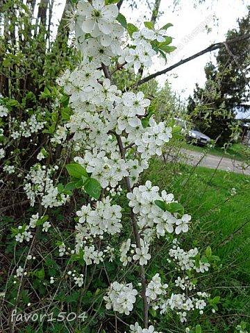 Решила пофотографировать как цветут деревья и кустарники... вот такие цветы на груше - обратите внимание - тычинки красно-розового цвета.... фото 13