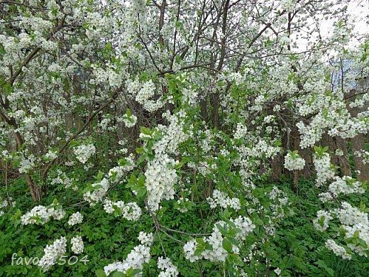 Решила пофотографировать как цветут деревья и кустарники... вот такие цветы на груше - обратите внимание - тычинки красно-розового цвета.... фото 14