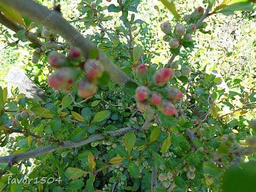 Решила пофотографировать как цветут деревья и кустарники... вот такие цветы на груше - обратите внимание - тычинки красно-розового цвета.... фото 16