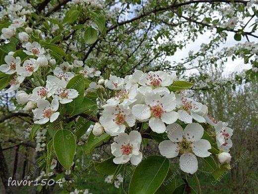 Решила пофотографировать как цветут деревья и кустарники... вот такие цветы на груше - обратите внимание - тычинки красно-розового цвета.... фото 1