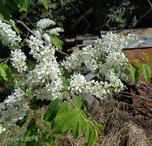 Решила пофотографировать как цветут деревья и кустарники... вот такие цветы на груше - обратите внимание - тычинки красно-розового цвета.... фото 20