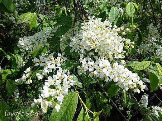 Решила пофотографировать как цветут деревья и кустарники... вот такие цветы на груше - обратите внимание - тычинки красно-розового цвета.... фото 21