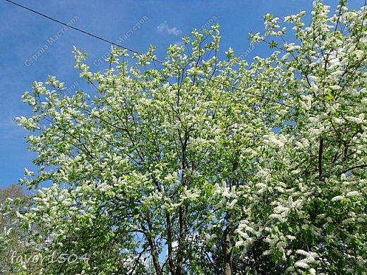 Решила пофотографировать как цветут деревья и кустарники... вот такие цветы на груше - обратите внимание - тычинки красно-розового цвета.... фото 22
