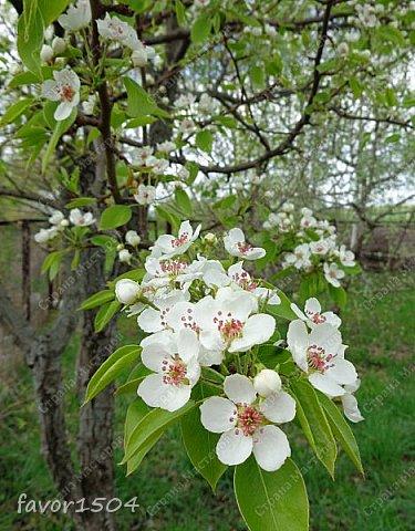 Решила пофотографировать как цветут деревья и кустарники... вот такие цветы на груше - обратите внимание - тычинки красно-розового цвета.... фото 2