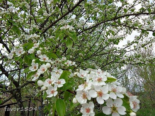 Решила пофотографировать как цветут деревья и кустарники... вот такие цветы на груше - обратите внимание - тычинки красно-розового цвета.... фото 3