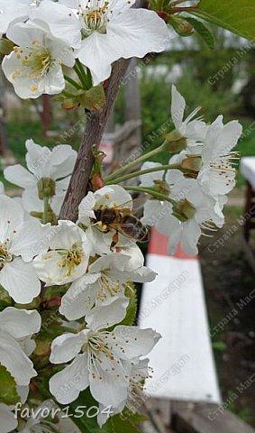 Решила пофотографировать как цветут деревья и кустарники... вот такие цветы на груше - обратите внимание - тычинки красно-розового цвета.... фото 4