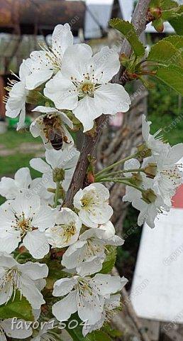 Решила пофотографировать как цветут деревья и кустарники... вот такие цветы на груше - обратите внимание - тычинки красно-розового цвета.... фото 5