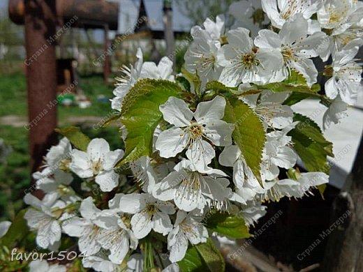 Решила пофотографировать как цветут деревья и кустарники... вот такие цветы на груше - обратите внимание - тычинки красно-розового цвета.... фото 7